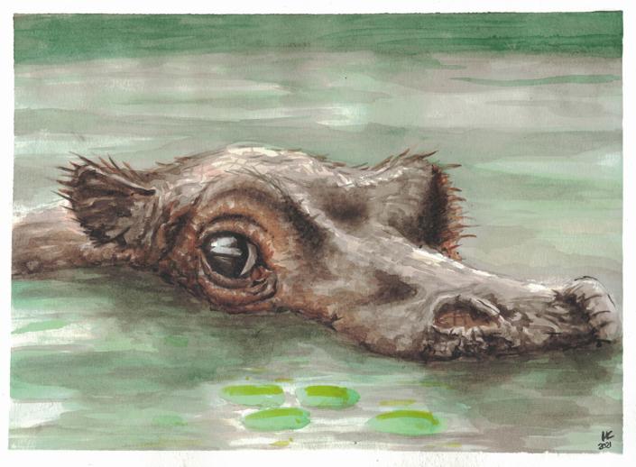 junges Flusspferd