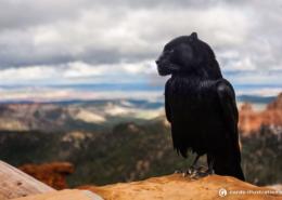 Eine Krähe, die einen Kopf eines schwarzen Panthers per Bildbearbeitung erhalten hat.